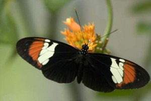 Heliconius heurippa, an endemic species to eastern Colombia that has arisen through hybridisation
