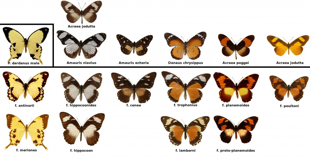 <I>Morphs of </i>Papilio dardanus<i> and their models</I>