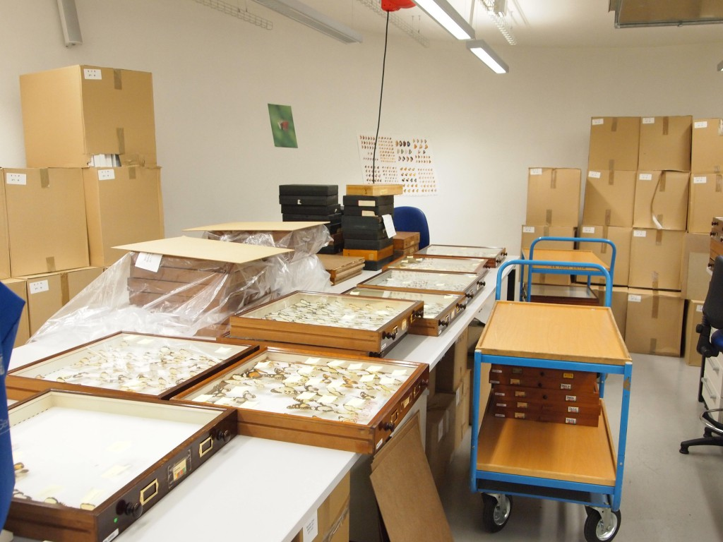 <i>Recurating the NHM </i>Papilio dardanus<i> collection.</i>